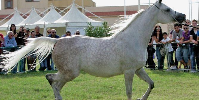 """Sport. Sabato e domenica il Trofeo """"Palermo Arabian Horses Cup"""""""
